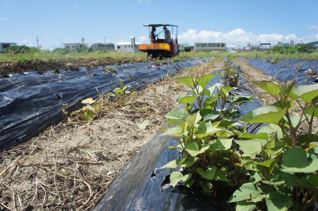 紅いも畑をご紹介♪マルシェ沖縄は自社農場と提携農家さんと一緒に丸々の紅いもを育ててます。
